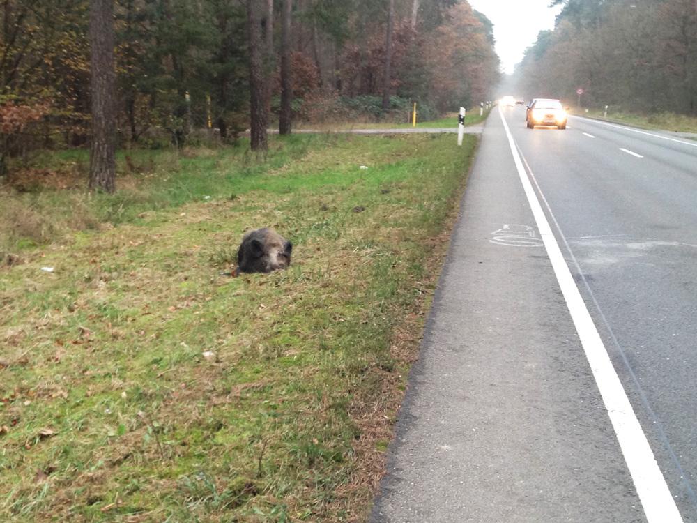 Nur wenige Meter hinter Neuschloß hat ein Auto dieses Wildschwein angefahren.